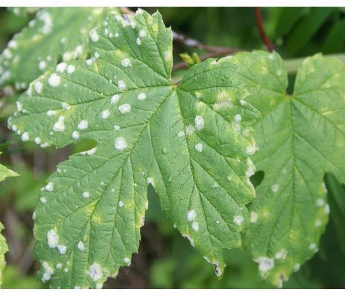Plants with mildew
